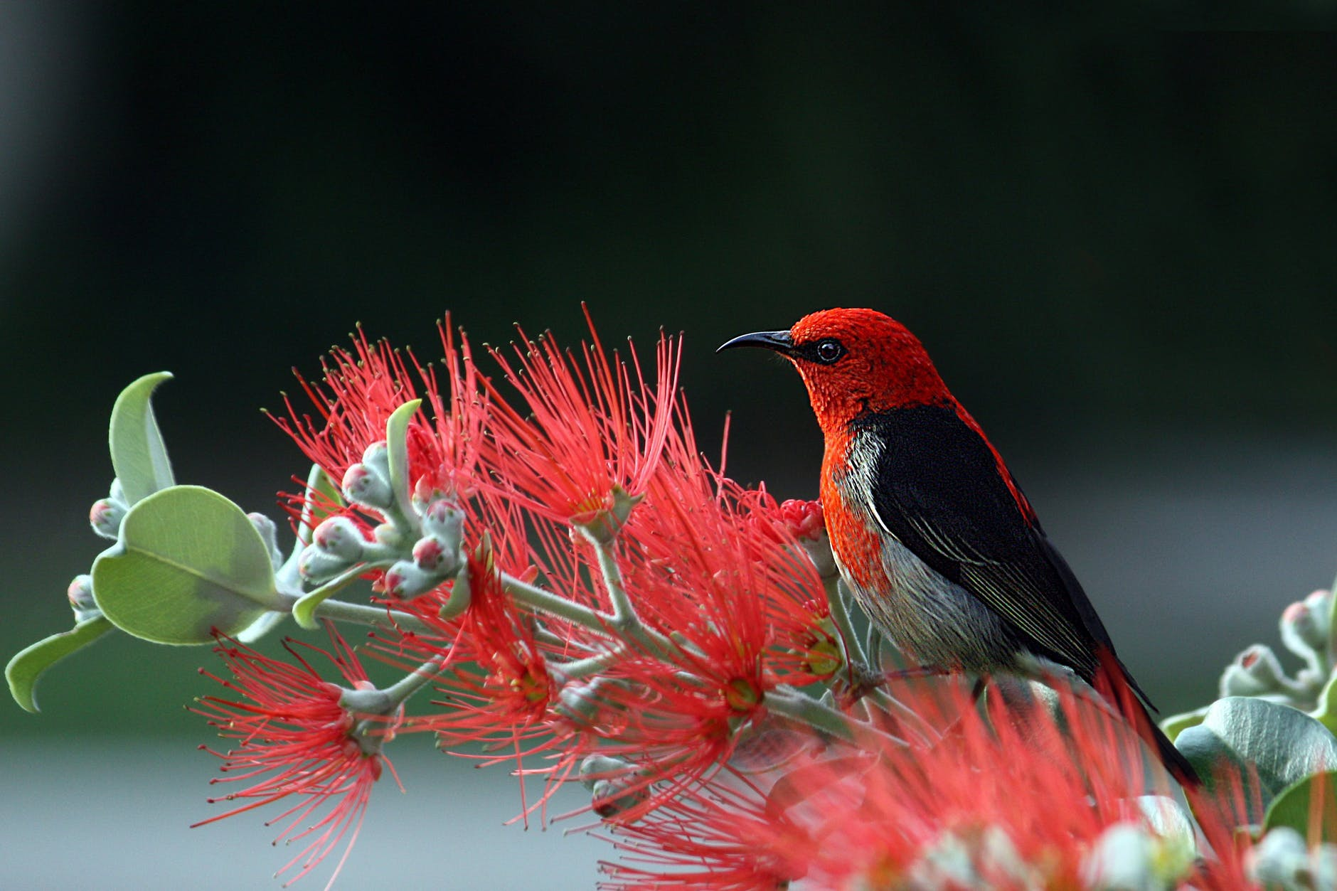 red and black bird on red flowers