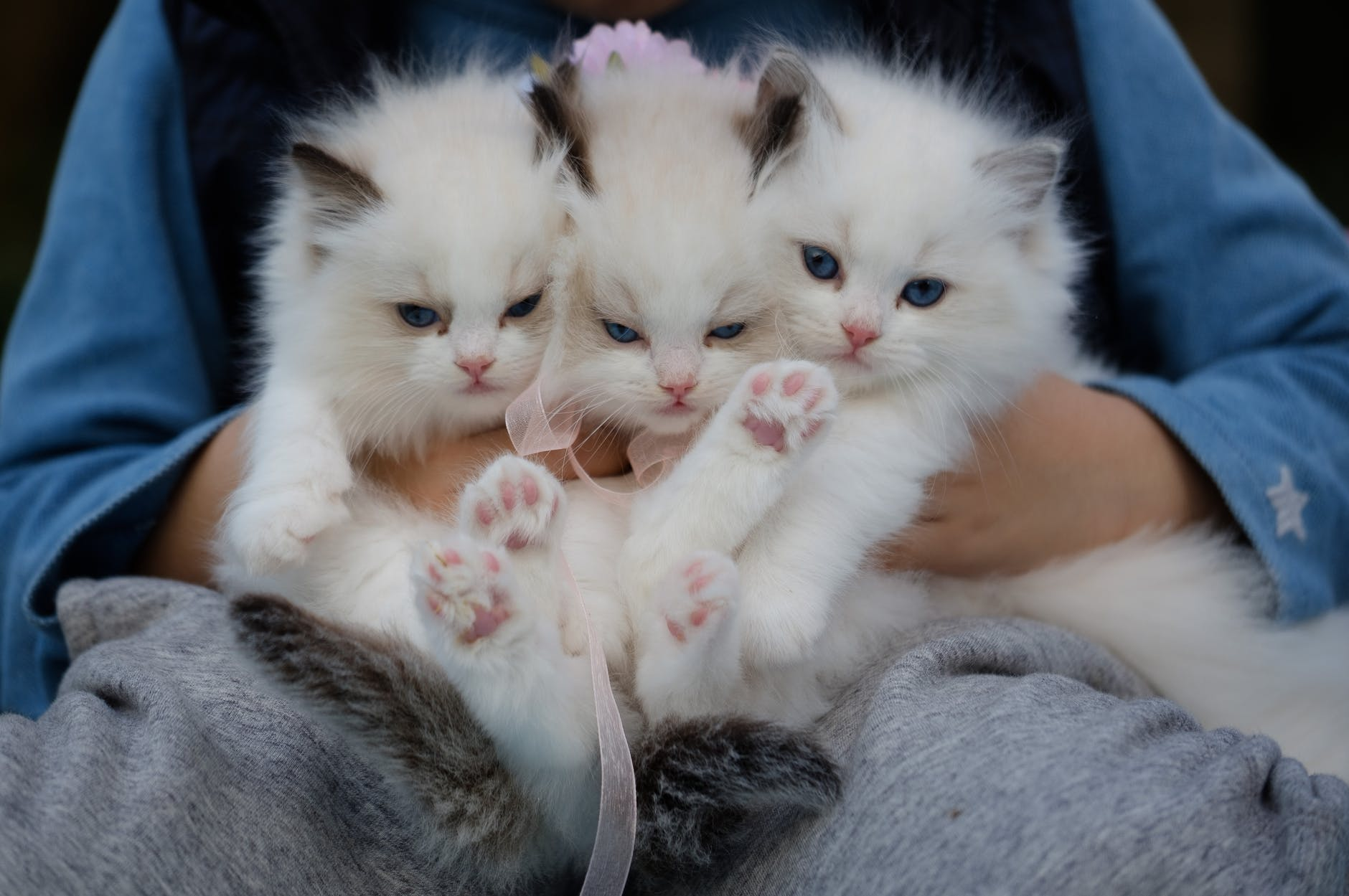 close up photo of a hand holding three white kittens